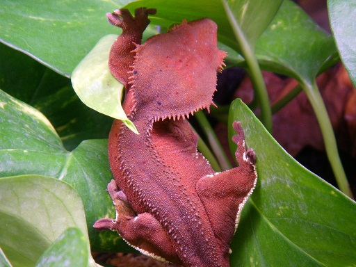 Crested.Gecko_AVA_Maroon-01-sm