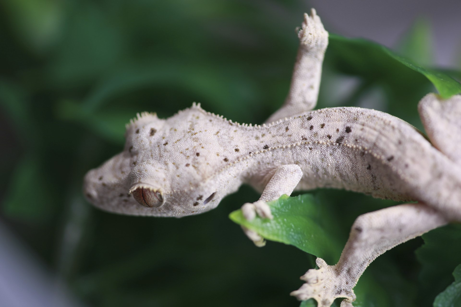 Crested.Gecko_Juvie_Moonglow-01