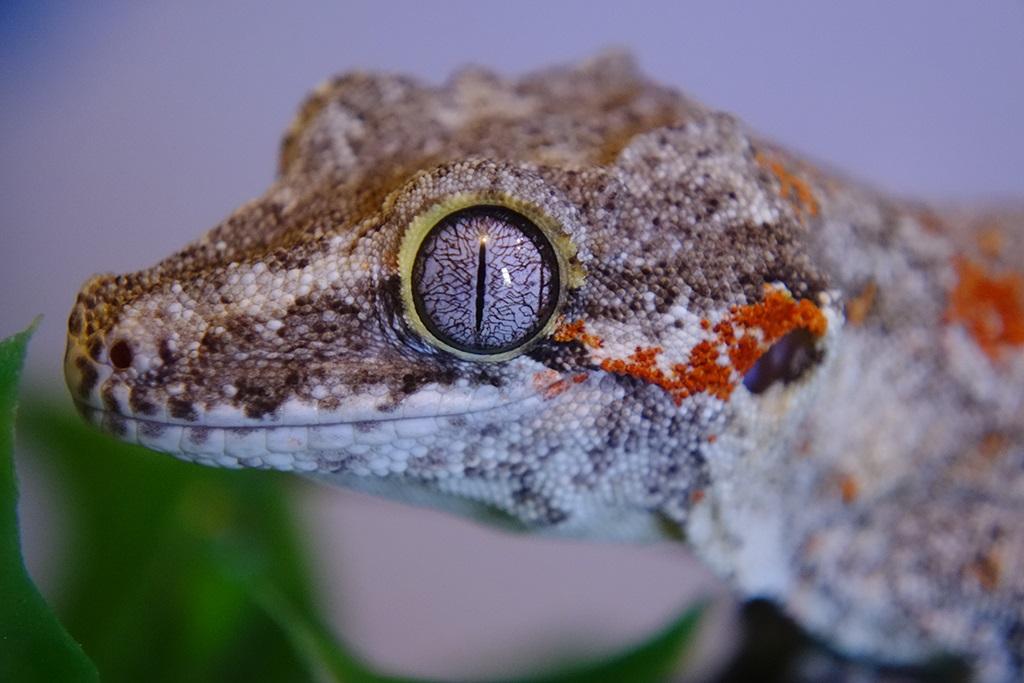 Gargoyle.Gecko_Blotch-02-sm