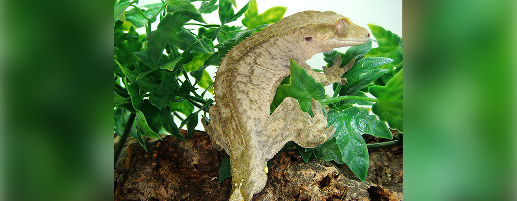 SLIDE-Crested.Gecko_Chaos_Black.Magic-01