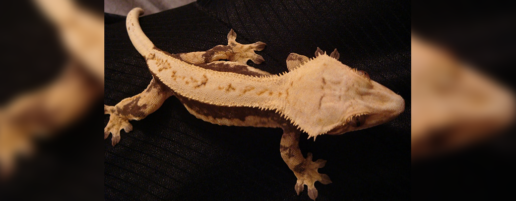 SLIDE-Crested.Gecko_Lyla_Lavender.and.Solid.Cream-01