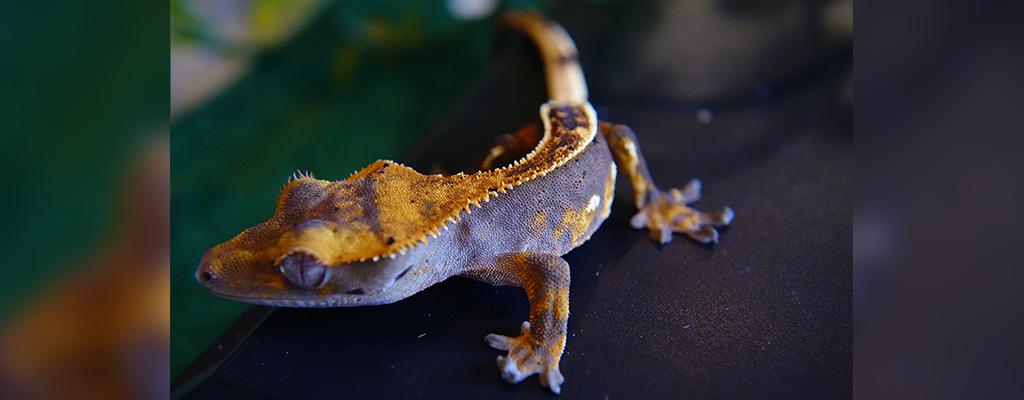 SLIDE-Crested.Gecko_PS_BlacknCream