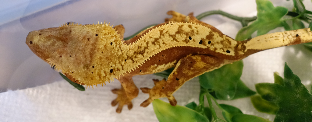 SLIDE-Crested.Gecko_Red.Pinstripe