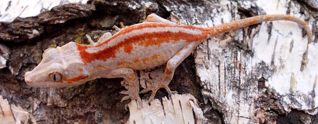 SLIDE-Gargoyle.Gecko_Bacon_Super.Bacon