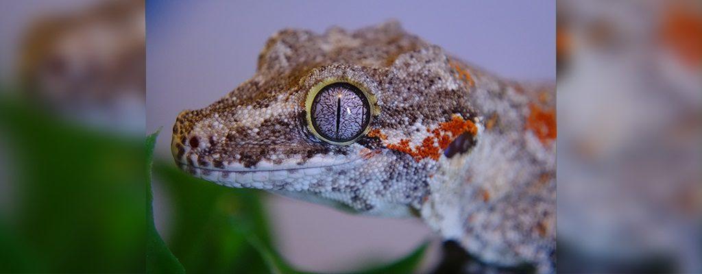 SLIDE-Gargoyle.Gecko_Blotch