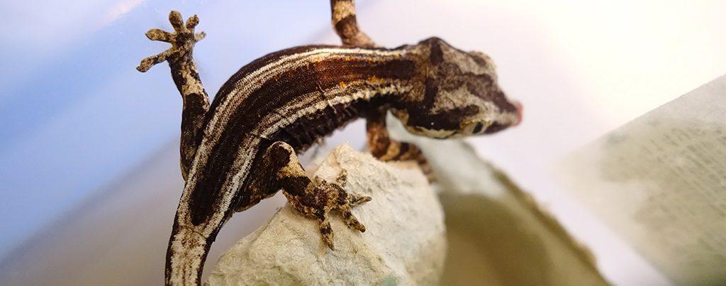 SLIDE-Gargoyle.Gecko_Pin