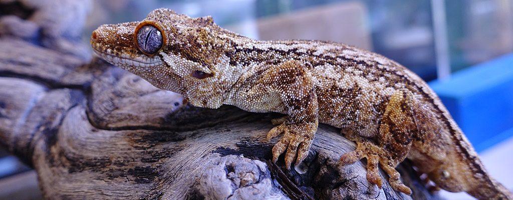 SLIDE-Gargoyle.Gecko_Romeo_Red-03