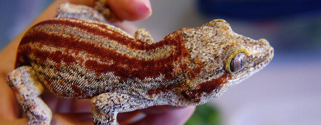 SLIDE-Gargoyle.Gecko_Spitfire_Red.Stripe-01