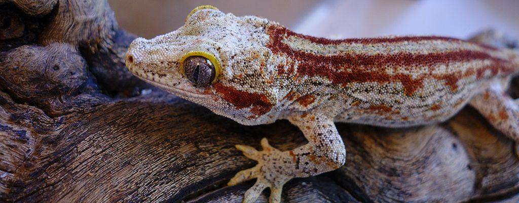 SLIDE-Gargoyle.Gecko_Spitfire_Red.Stripe-02